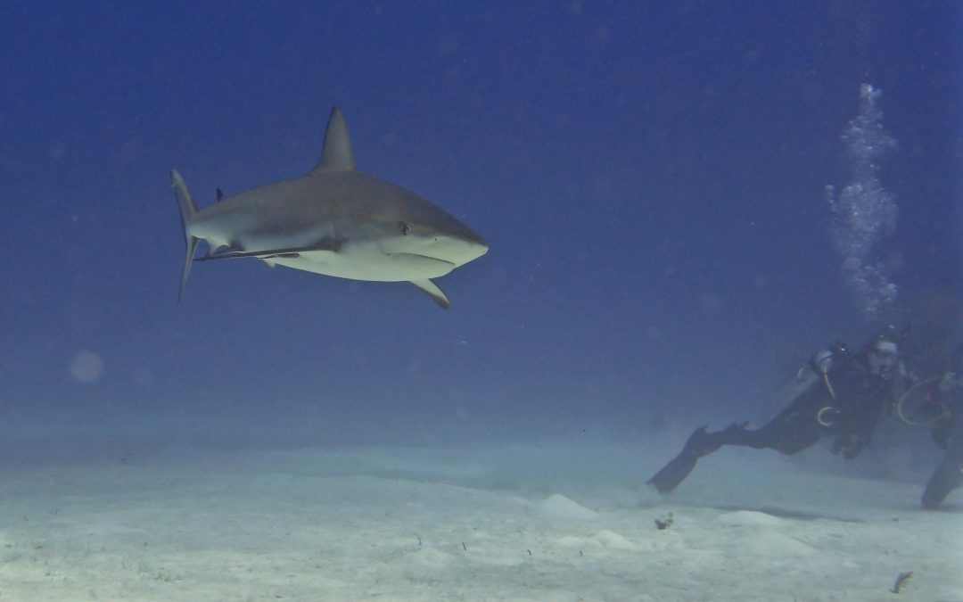 Guest Article:  Swimming With Sharks (Spoiler Alert: It's Actually A Lot Of Fun)